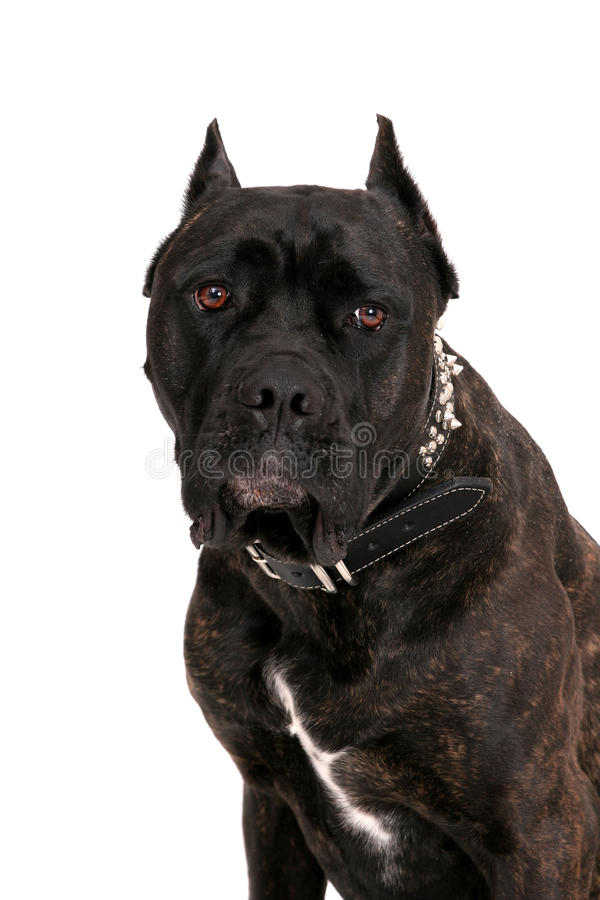 Ritratto del Mastiff immagini stock