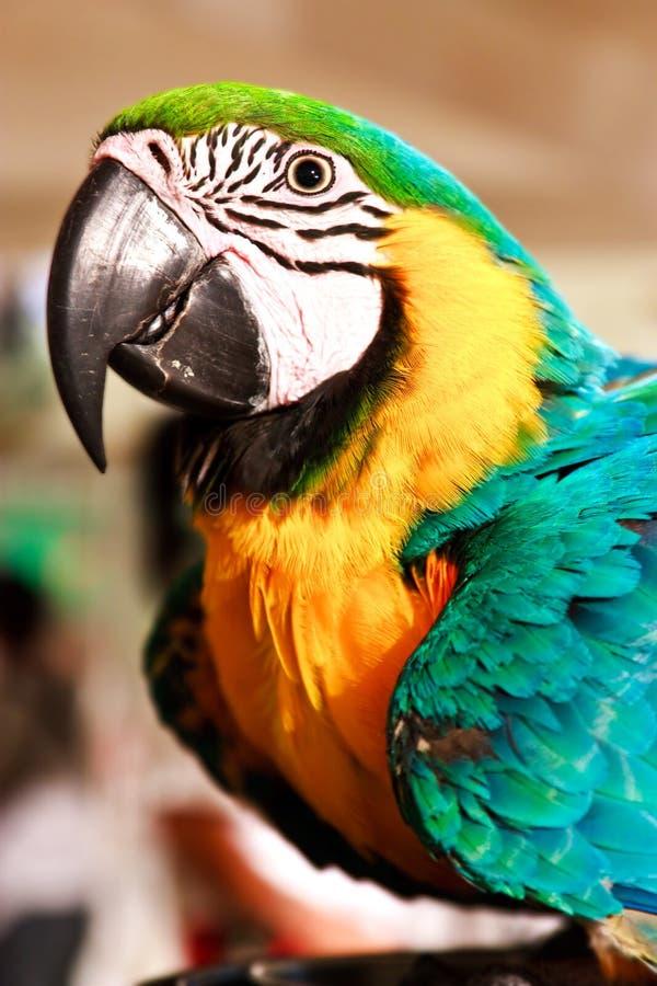 Ritratto del pappagallo dell'ara fotografia stock