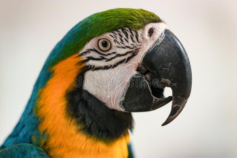 Ritratto del pappagallo dell'ara su fondo della parete leggera fotografia stock libera da diritti