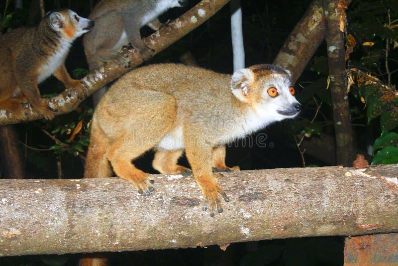 Ritratto del parco nazionale incoronato di Ankarana di coronatus di Eulemur delle lemure Le lemure incoronate sono endemiche alle fotografia stock
