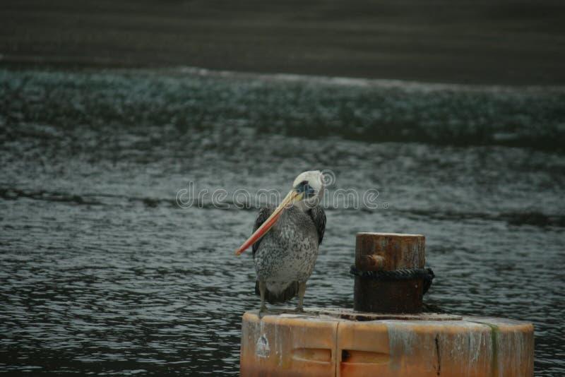 Ritratto del pellicano pacifico su una boa di attracco con l'oceano e sulla spiaggia nel fondo immagine stock