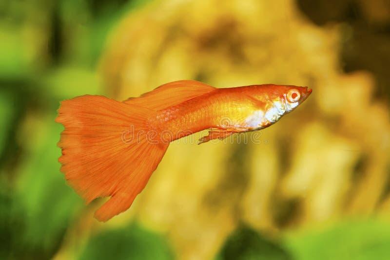 Ritratto del pesce dell'acquario - poecilia reticulata del guppy in acquario immagini stock libere da diritti