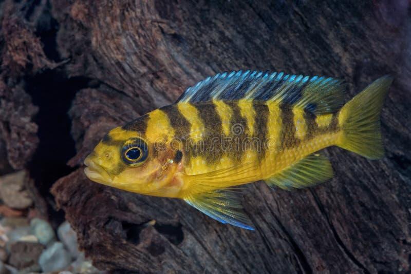 Ritratto del pesce di cichlidae & di x28; Crabro& x29 di Pseudotropheus; in acquario immagini stock libere da diritti