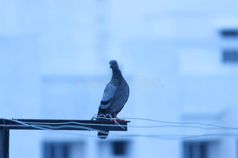 Ritratto del piccione isolato sul fondo della costruzione fotografia stock libera da diritti