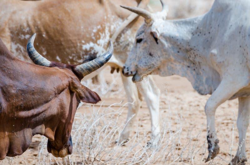 Ritratto del primo piano del bestiame mauritaniano con i tori e le mucche nel deserto del Sahara, Mauritania, Nord Africa immagine stock