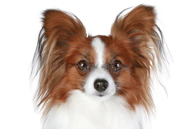 Ritratto del primo piano del cane di Papillon immagine stock libera da diritti
