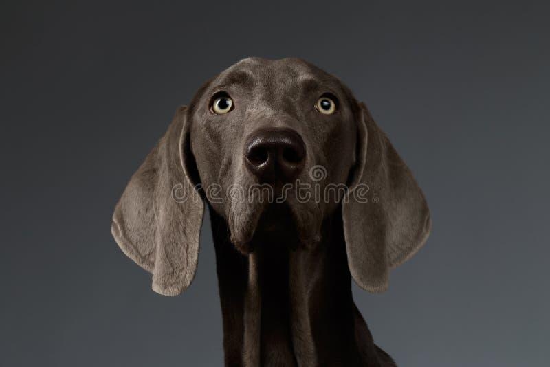 Ritratto del primo piano del cane di Weimaraner che guarda in camera, pendenza bianca fotografie stock libere da diritti