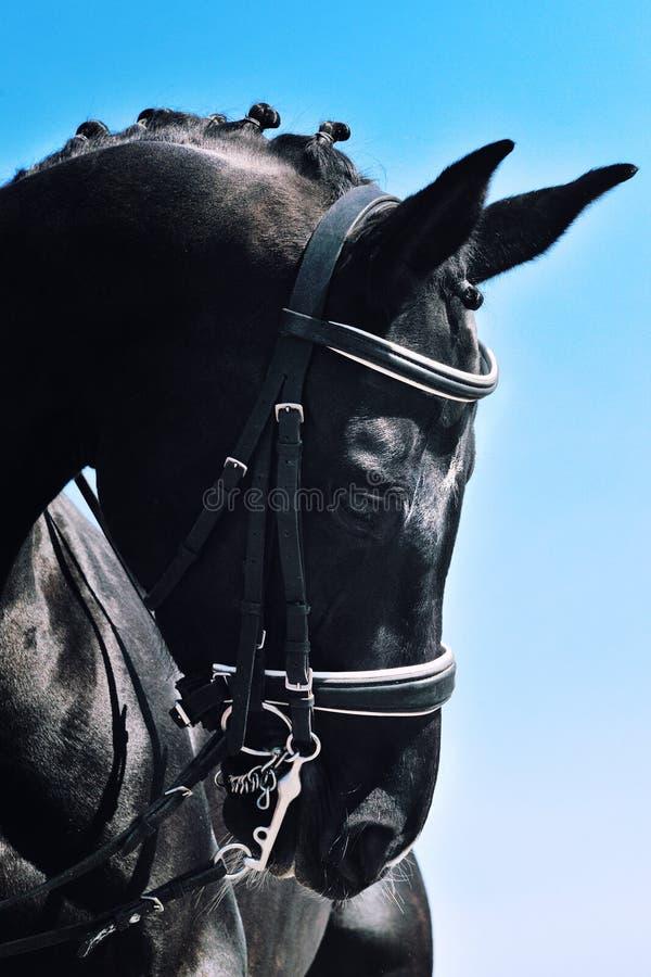 Ritratto del primo piano del cavallo di dressage con la criniera intrecciata immagini stock libere da diritti