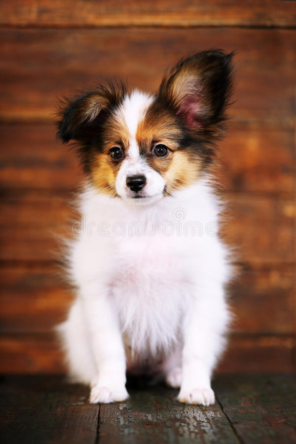 Ritratto del primo piano del cucciolo di Papillon fotografia stock libera da diritti