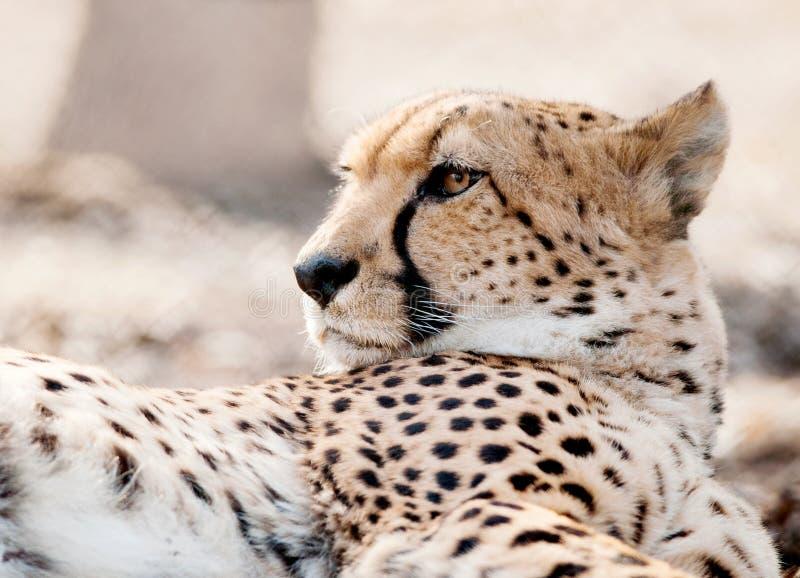 Ritratto del primo piano del fronte del ghepardo che mostra il dettaglio della pelliccia immagine stock libera da diritti