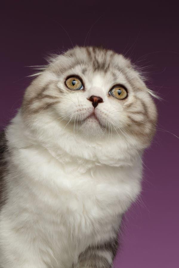 Ritratto del primo piano del gattino bianco del popolare dello Scottish sulla porpora immagini stock