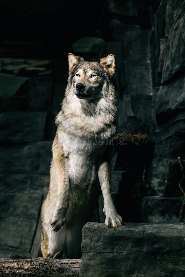 Ritratto del primo piano del lupo fotografia stock