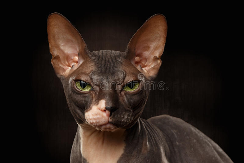 Ritratto del primo piano del punto di vista scontroso di Sphynx Cat Front sul nero fotografia stock libera da diritti