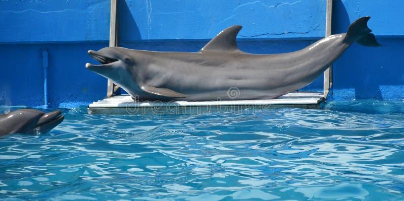 Ritratto del primo piano del delfino in uno stagno immagini stock libere da diritti