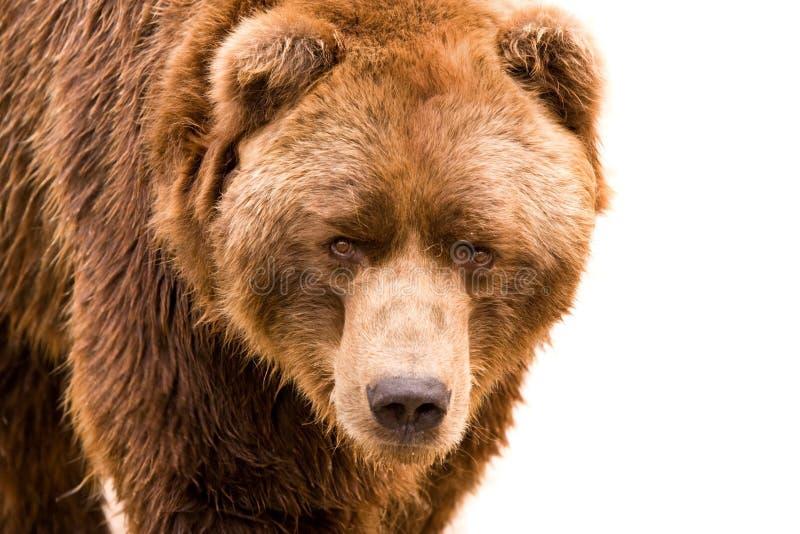 Ritratto del primo piano dell'orso di Brown fotografia stock libera da diritti