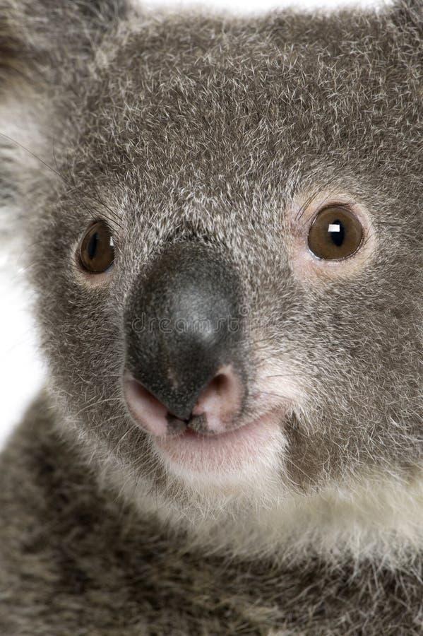 Ritratto del primo piano dell'orso di Koala maschio immagine stock libera da diritti