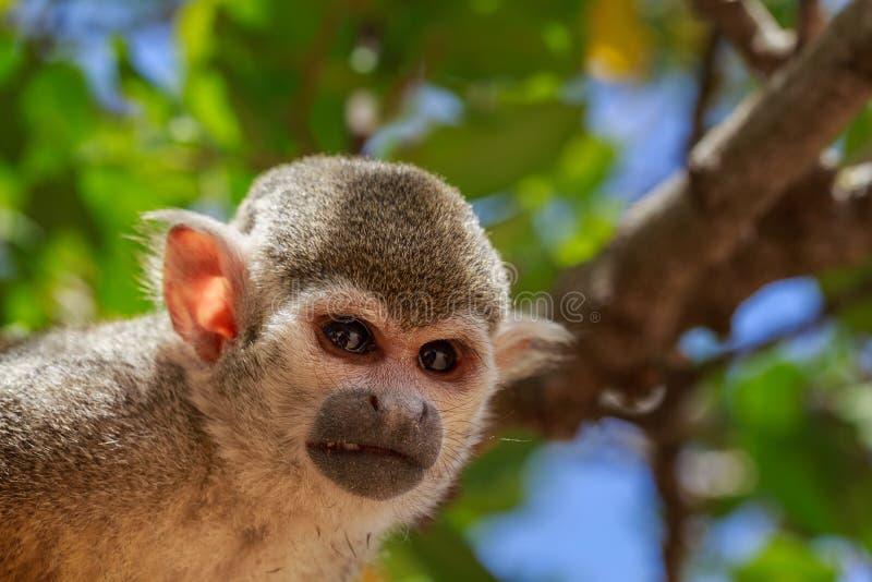 Ritratto del primo piano della scimmia scoiattolo immagine for Piani principali del primo piano