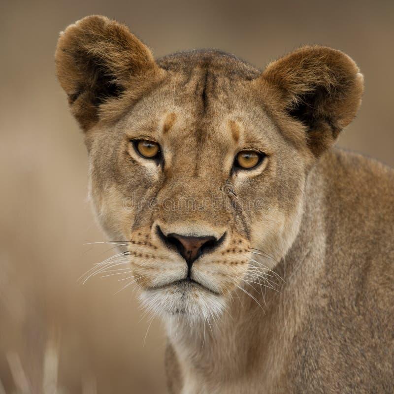 Ritratto del primo piano della sosta nazionale di Serengeti fotografie stock