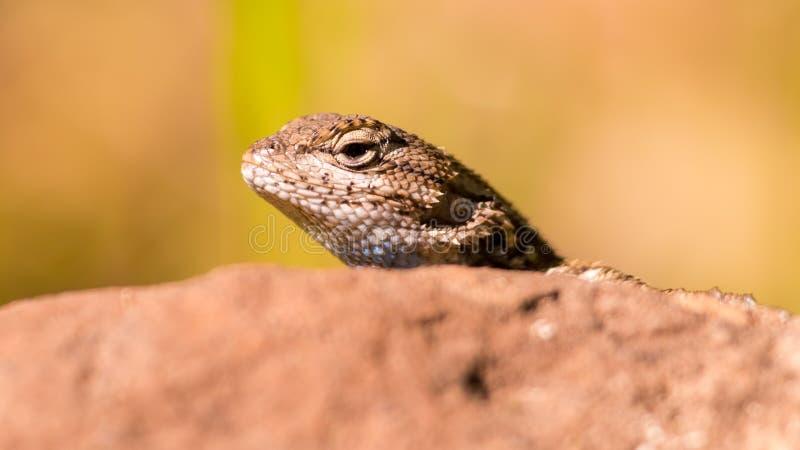 Ritratto del primo piano delle specie della lucertola che danno una occhiata alla sua testa fuori sopra una roccia nel parco di s fotografia stock