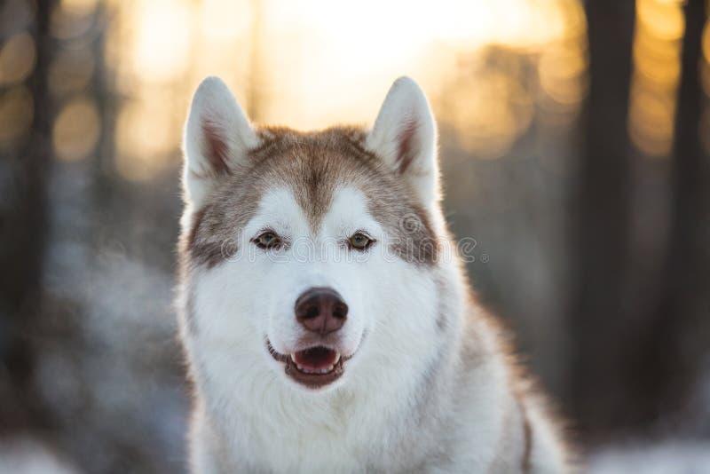 Ritratto del primo piano di bello e cane felice del husky siberiano che si siede sulla neve nella foresta di inverno al tramonto immagine stock libera da diritti