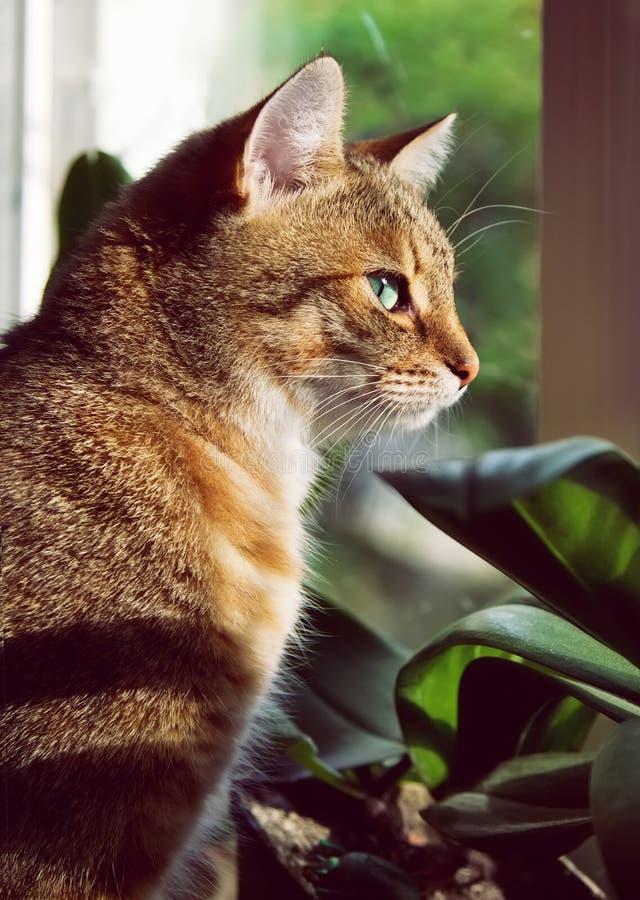 Ritratto del primo piano di bello gatto domestico fotografie stock libere da diritti