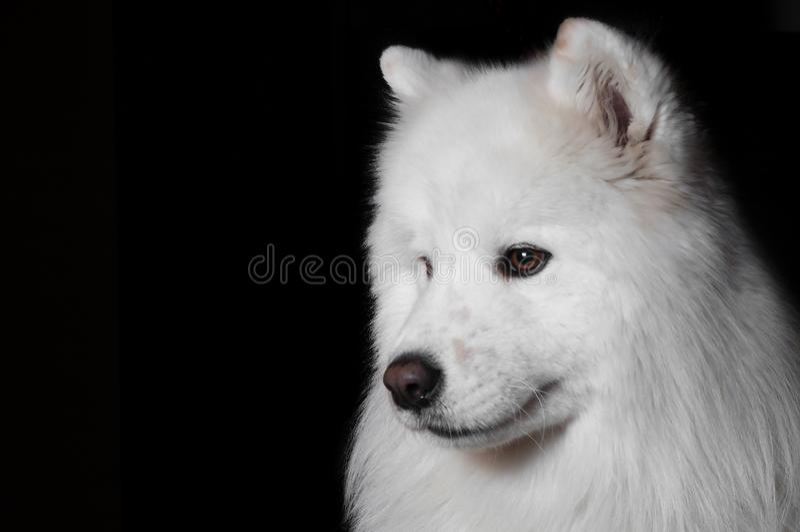 Ritratto del primo piano di fondo nero isolato cane samoiedo lanuginoso bianco di razza immagine stock