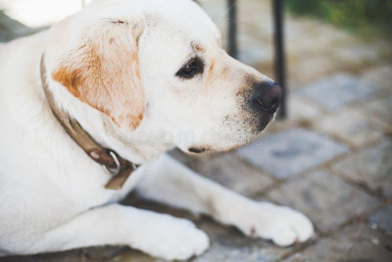 Ritratto del primo piano di Labrador triste bianco immagini stock libere da diritti