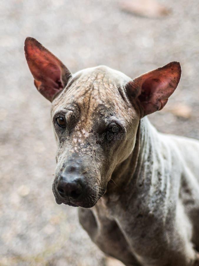 Ritratto del primo piano di povero cane rognoso fotografia stock