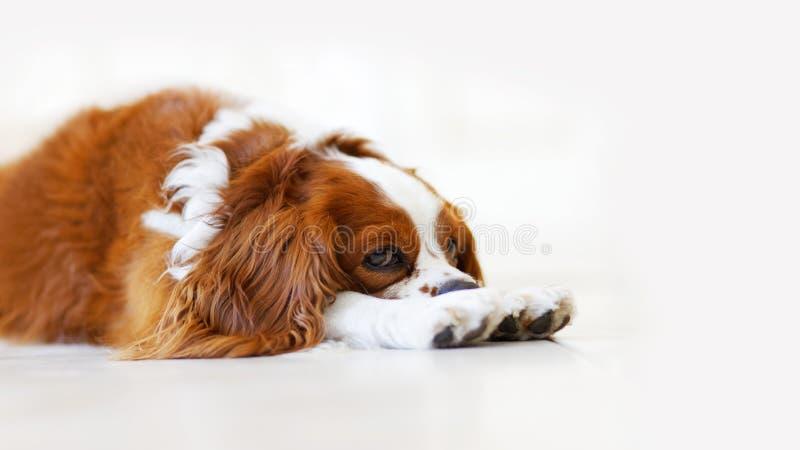 Ritratto del primo piano di re Charles Spaniel del cane che si trova sul pavimento fotografia stock libera da diritti