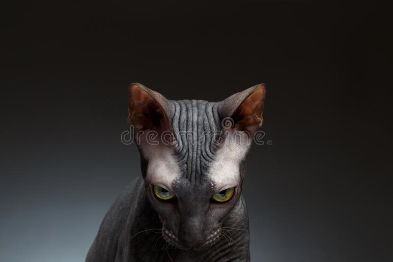 Ritratto del primo piano di Sphynx Cat Gaze Looks sul nero fotografia stock libera da diritti