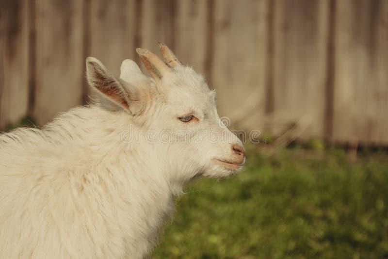 Ritratto del primo piano di un bambino marrone della capra su un'azienda agricola nel villaggio Bella posa del bambino della capr fotografia stock libera da diritti