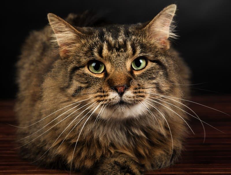 Ritratto del primo piano di un gatto di soriano dai capelli lunghi sveglio fotografia stock