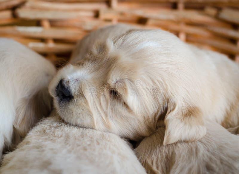 Ritratto del primo piano di un sonno neonato del cucciolo di golden retriever in un canestro di vimini immagini stock libere da diritti