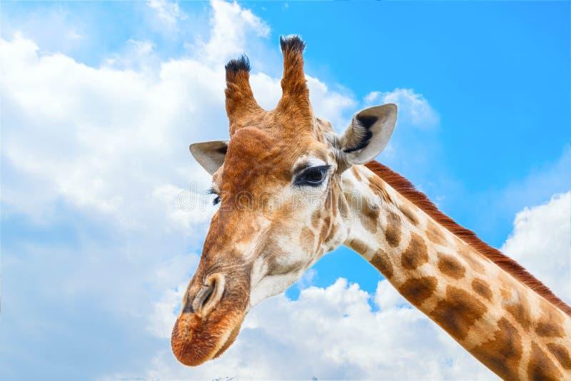 Ritratto del primo piano di una giraffa sopra cielo blu con le nuvole bianche fotografia stock