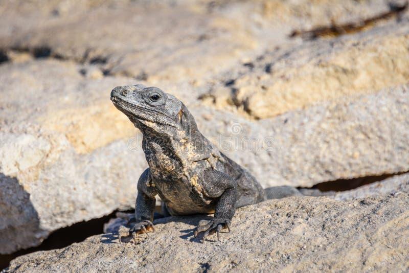 Ritratto del primo piano di una lucertola dell'iguana che prende il sole su una roccia alle rovine maya Maya di Riviera, Quintana immagine stock
