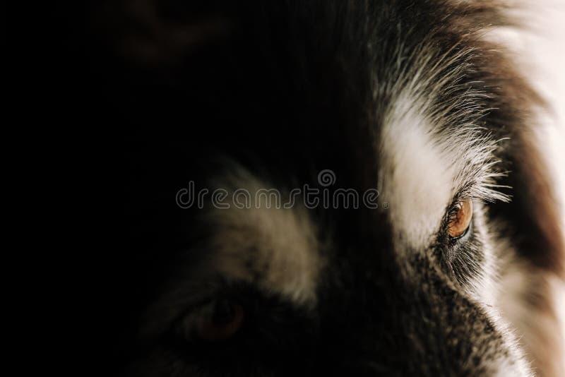 Ritratto del primo piano e fuoco selettivo sull'occhio marrone del siberiano Hu immagini stock