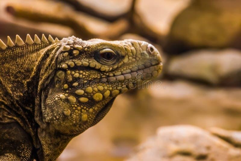 Ritratto del primo piano del fronte di una specie tropicale e vulnerabile cubana dell'iguana della roccia, della lucertola dalla  immagini stock