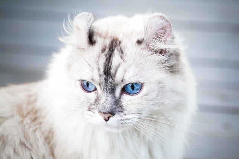 Ritratto del primo piano del gatto americano sveglio del ricciolo fotografia stock