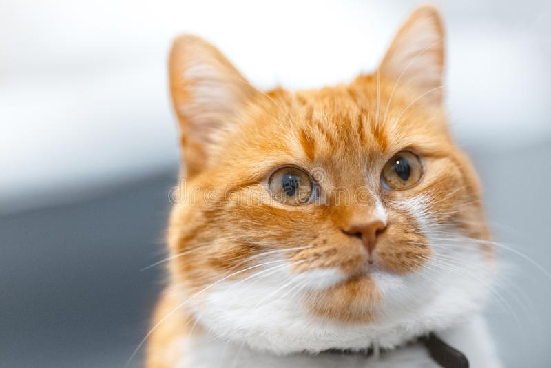 Ritratto del primo piano del gatto norvegese bianco rosso fotografie stock libere da diritti