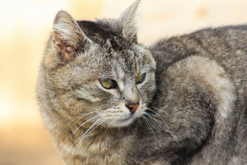 Ritratto del primo piano del gatto severo e serio arrabbiato grigio che guarda rigorosamente B fotografie stock
