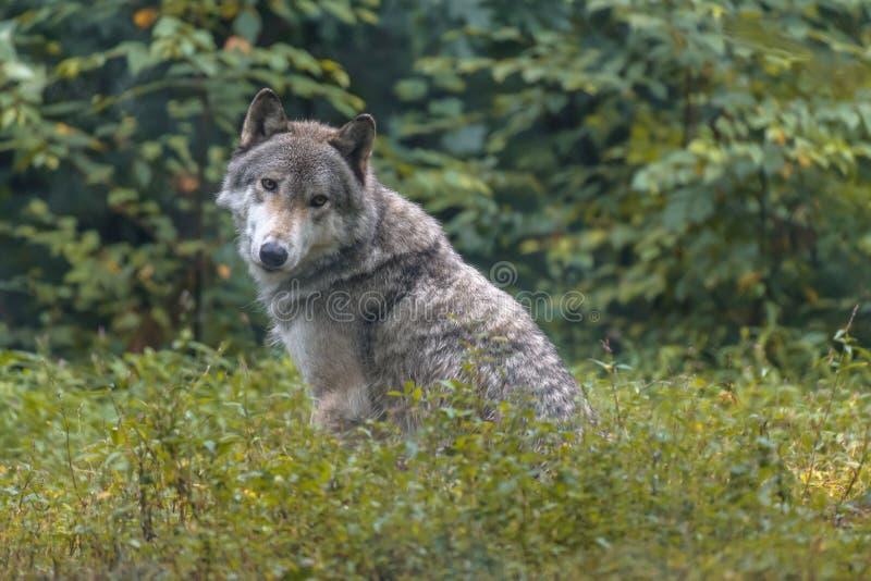 Ritratto del primo piano del lupo grigio immagine stock libera da diritti