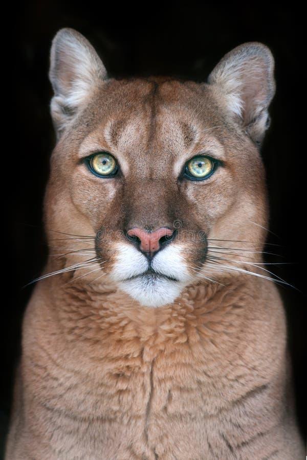 Ritratto del puma con i bei occhi immagini stock