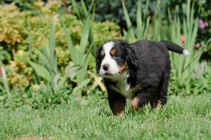 Ritratto del pupp del cane di montagna di Bernese immagine stock libera da diritti