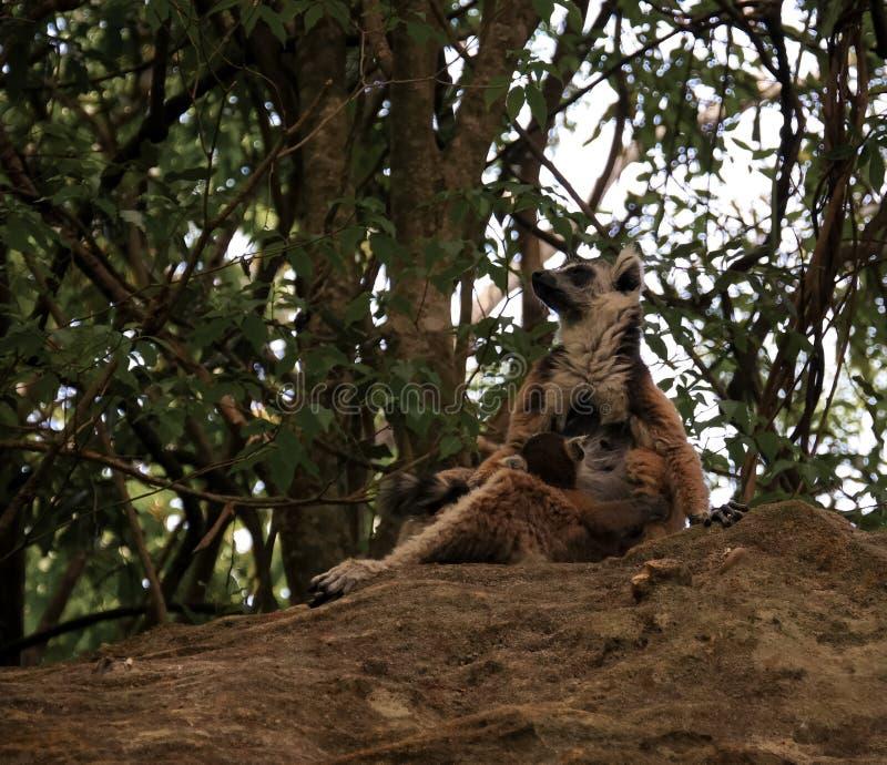 Ritratto del re mangiante Julien di catta delle lemure delle lemure catta aka nel parco nazionale di Isalo, Madagascar immagine stock