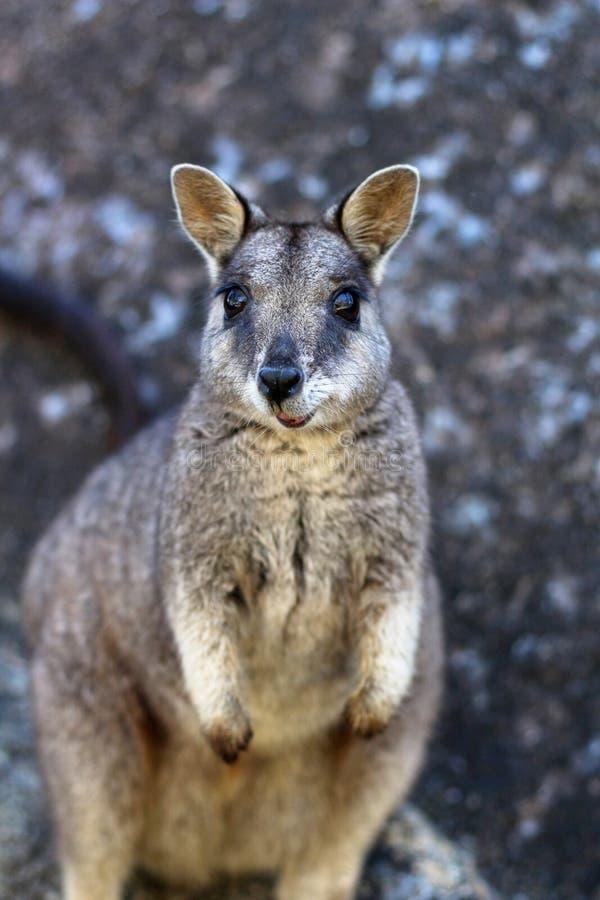 Ritratto del roccia-wallaby di Mareeba fotografia stock
