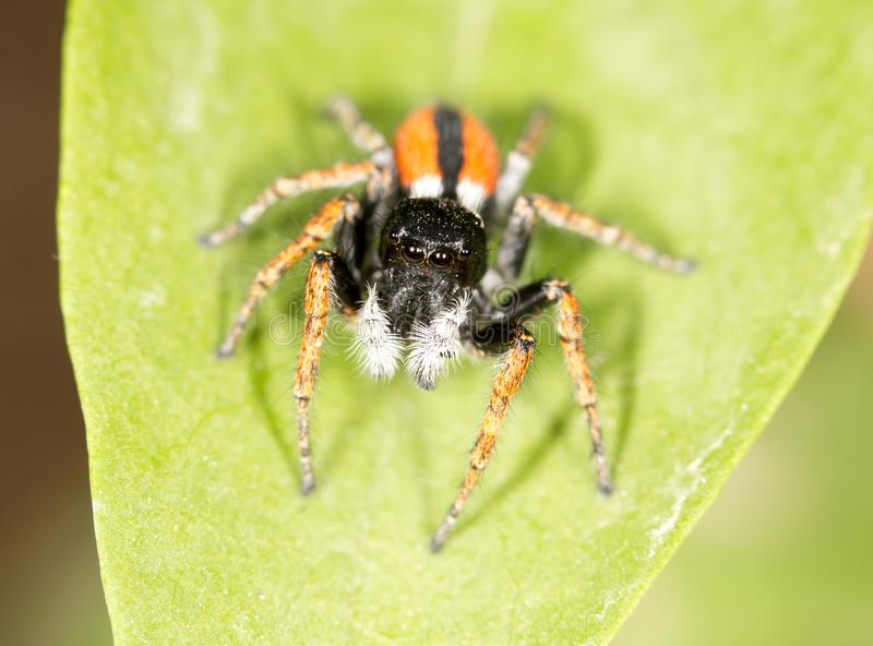 Ritratto del saltatore del ragno rosso fotografie stock libere da diritti