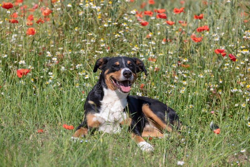 Ritratto del sennenhund del appenzeller del cane in erba con i fiori immagini stock libere da diritti