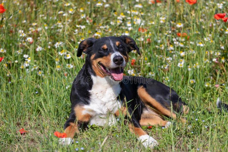 Ritratto del sennenhund del appenzeller del cane in erba con i fiori immagini stock