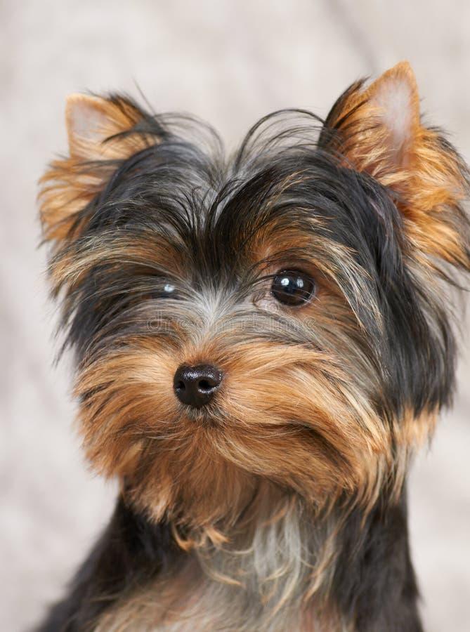 Ritratto del Terrier di Yorkshire fotografia stock