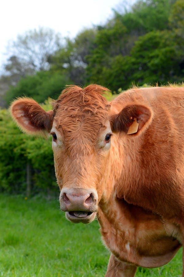 Ritratto del vitello della mucca nei marchi auricolari del campo nascosti immagini stock